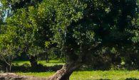 Albero di Carrubo - Altopiano Ibleo (RG)